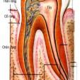 Cấu tạo của tủy răng